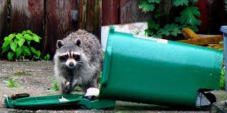 I am a raccoon: why I love trash television